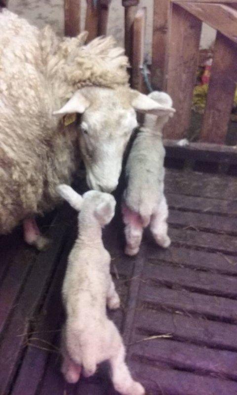 Tidlig: Lammene ble født 10. januar. Saueeier Kristian Pallesen har aldri opplevd å få lam så tidlig før.