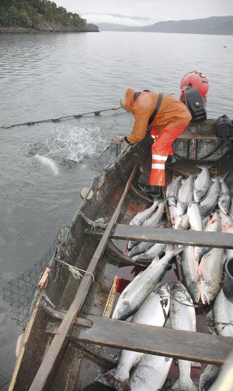 Kilenot: Årets sjølaksfiske på Nordmøre tok seg opp i år sammenliknet med fjorårets begredelige tall. Men seks tonn fisk er likevel klart under snittet for årene fra 2000 til 2015.