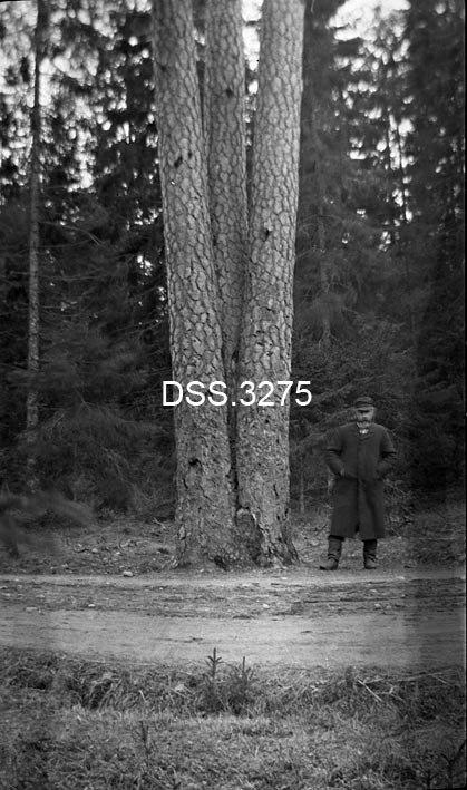 GAMMELT: DEtte bildet er fra 1912 og beviser at rapporten dermed bommer grvt når den anslår at treet er mellom 110 og 130 år gammelt. Som det fremgår av bildet var treet stort og gammelt allerede i 1912. Foto: Direktoratet for Statens skoger (DSS)