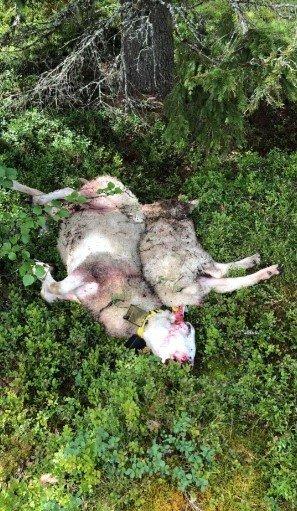 DØDE: Det ble funnet flere døde dyr i beiteområdet i slutten av forrige helg og mandag denne uka.