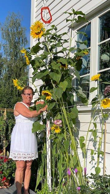 SOLSIKKER: Karis solsikker nærmer seg tre meter.
