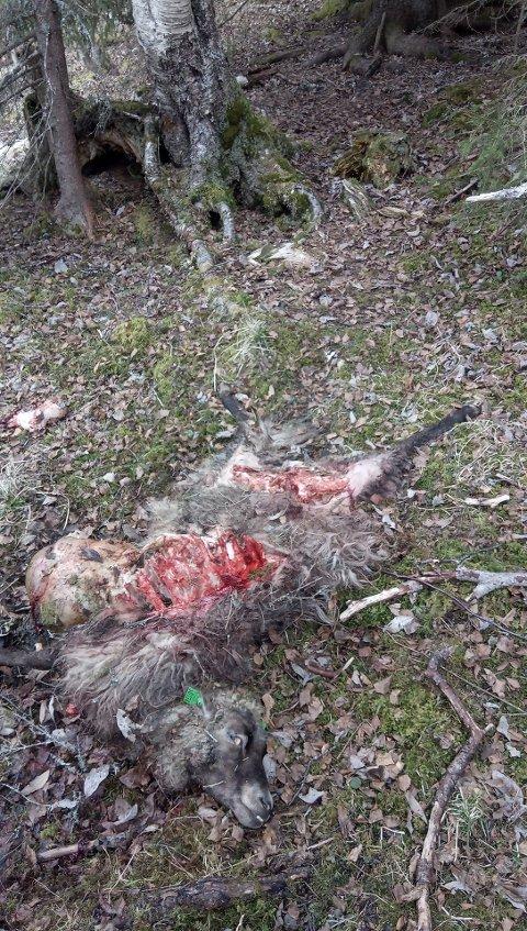 DREPT: Dette er en av de to Jan Ivar Sandnes sine sauer som er dokumentert tatt av bjørn siste ukene. Selv mener Sandnes han har mistet rundt 30 sau og lam så langt. Foto: Terje Gifstad, fjelloppsynsmann Snåsa fjellstyre og rovviltkontakt på tenestekjøp for SNO.