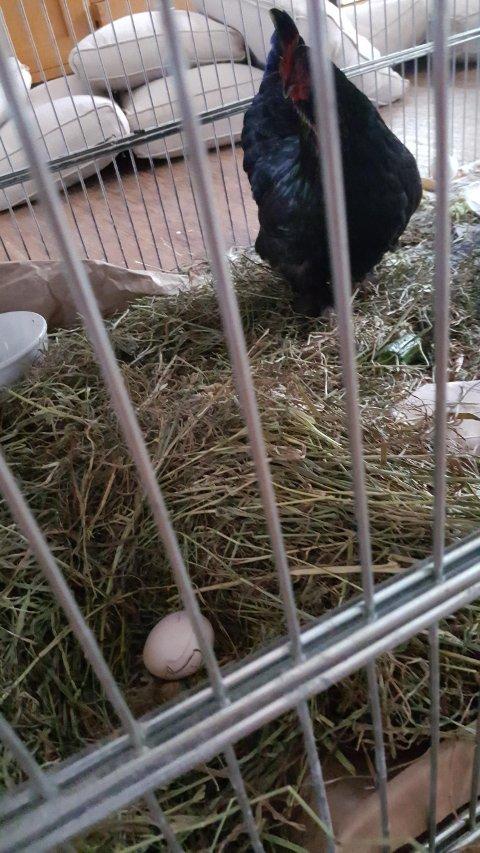 Inn til vidare får høna bu i stova til familien.