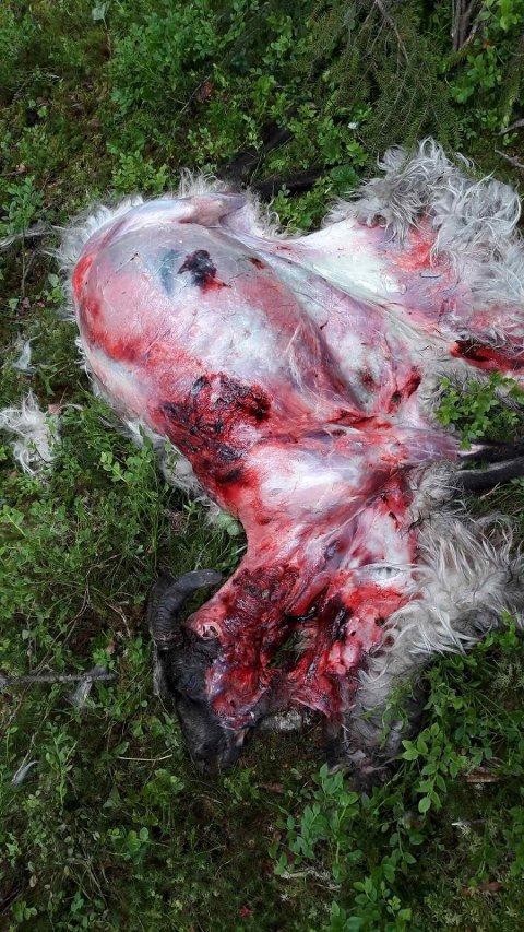 Sau angrepet av ulv, oppdaget mandag 19. juni. Trolig tatt tre dager tidligere.