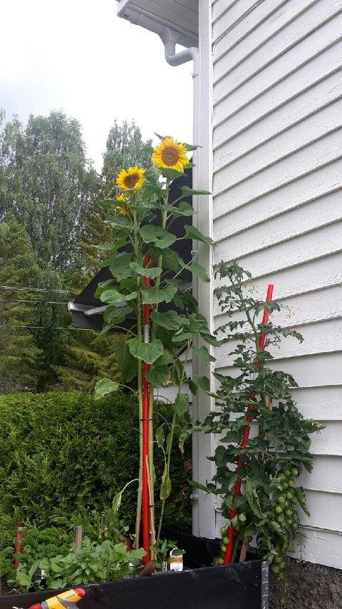 SOLSIKKE: Denne solsikka er 2,20 meter lang.