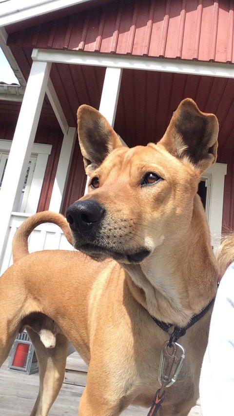 PÅ RØMMEN: Theo er en korthåret, mellomstor, rødbrun blandingshund som forsvant fra Langstranda fredag.