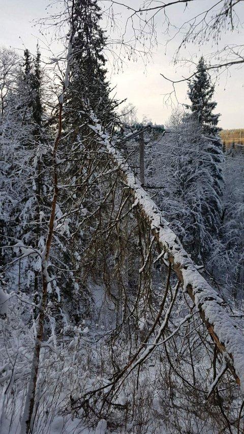 TOK STRØMMEN: Dette treet hadde lagt seg over strømledningene, og førte til et strømbrudd i området ved Sandaker.
