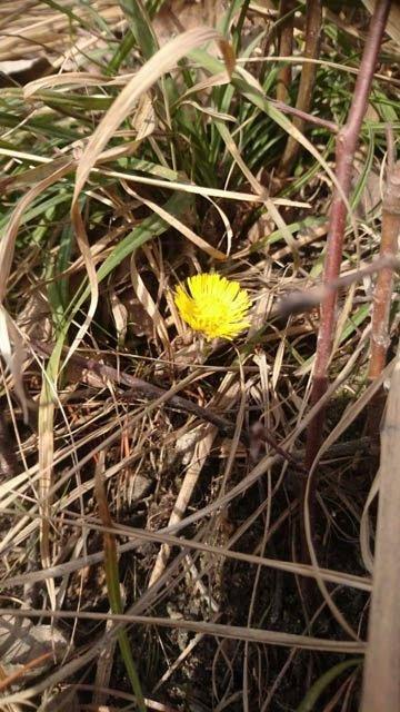 Hestehov i februar? Joda, solveggen i Austbygde har en blomst dukket opp. (foto Tinn Montessoriskole)