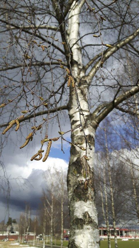 Pollensesongen er for alvor i gang.  Foto: Siv Henningstad