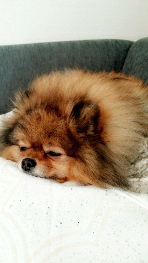 Hovedbilde: Overlevde: Nala (7) er en pomeranian og veier kun 3,5 kilo. Hunden overlevde møtet med ulven i mai i år. Alle foto: Privat