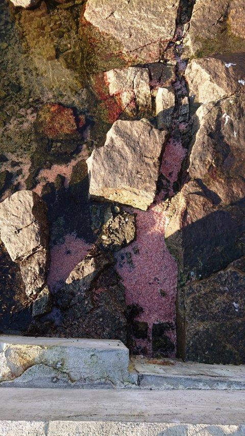 Det er lett å tro at dette er reker, mens det i virkeligheten trolig er krill. (Foto: Privat)