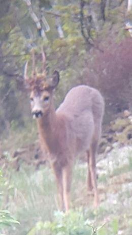 Rådyrbukk med tre horn er verken vanlig eller uvanlig. Nå går et slik rådyr i området ved Bergsvik.