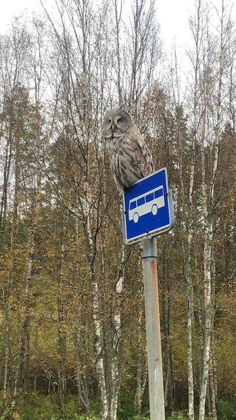 Kilsund by night: Denne lappuglen ble observert på en busslomme rett før Kilsund torsdag kveld. Det spørs om den ikke måtte fly videre inn til sentrum av Kilsund for egen maskin, for noen buss kom det ikke.