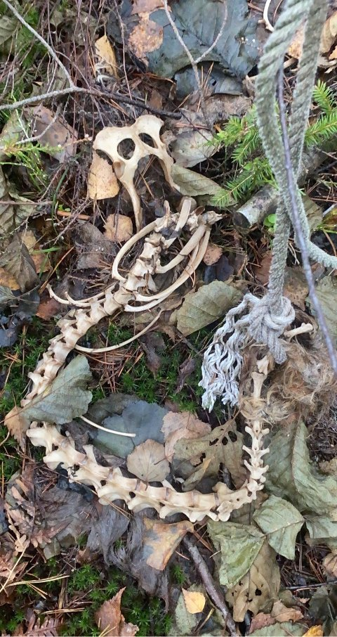Det var dette skjelettet Maria Ausland kom over på en skogstur tidligere denne uken. Den ene enden av tauet er bundet rundt skjelettets bakre del.