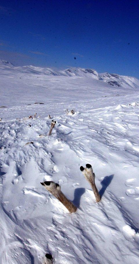 Rasdød: Bilde fra Svarthø-skredet der 245 reinsdyr døde.