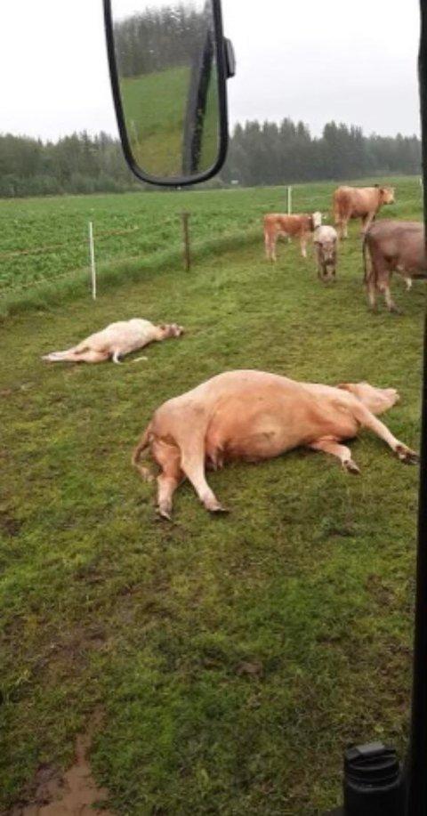 DREPT AV LYNET: Kua og kalven hennes ble slått i bakken på innmarksbeite ogdøde momentant.