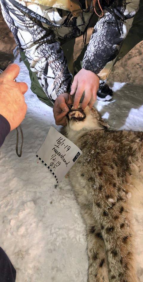 GAUPE: Dette er gaupa som ble felt på Fagerstrand fredag. Bildet er sendt til RA av jaktleder Stian Sætre.