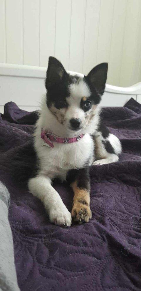 SVEA: Den savnede hunden har et blått og et brunt øye, og hennes venstre framlabb er brun. Hun er en liten hund på rundt tre kilo.