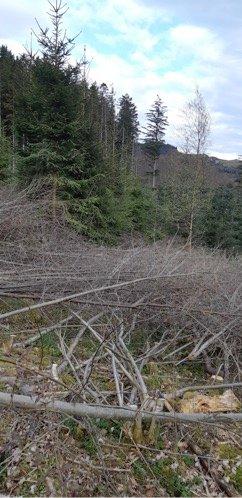 Resultatet av tynning, der trærne ligger igjen for å dempe veksten av andre arter, og sikre veksten til sitka-gran.