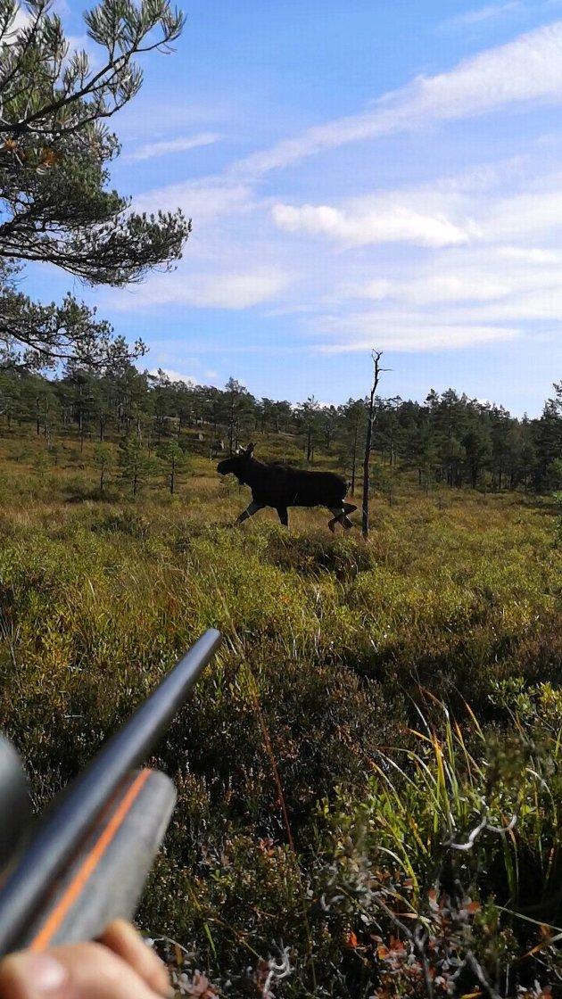 I SIKTET: De kommer fint de voksne oksene, når de er fredet fram til 5. oktober her.
