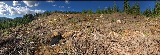 Ønsker vi å ta vare på truete arter i skog, er flatehogst den siste hogstformen vi bør velge. (illustrasjonsfoto)