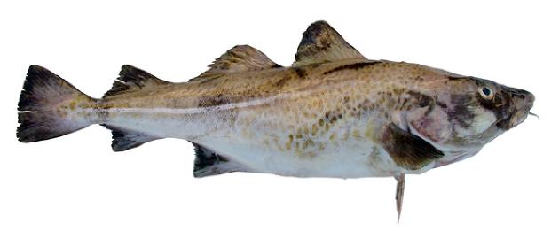 Sentrum vil ha mer fersk fisk til landanleggene.
