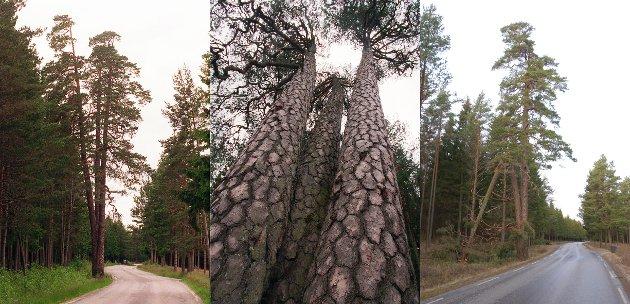 BERØMT: «De tre furuer» i Rokke er truet av felling fordi Statens vegvesen mener det er akutt fare for at treet skal kollapse. Bildet i midten og til venstre er fra 1998 og viser treet da det var i all sin prakt. Bildet til høyre viser treet etter at det ble skadet i et uvær i 2003. – Kan det skrus sammen og bevares, undrer Sverre Stang.