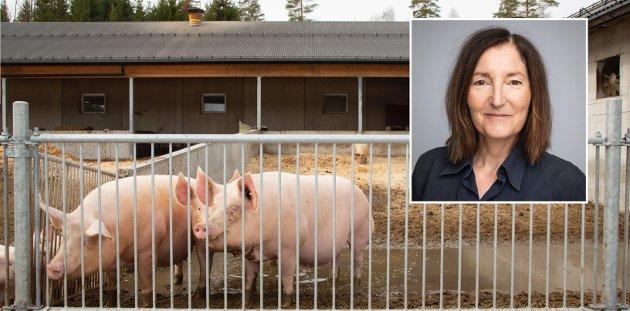 GRIS: Hvis vi skal oppnå akseptabel velferd for norske griser, er det behov for å gi dem et vesentlig mer sammensatt miljø. Det anbefales blant annet mer bruk av kontrollerte uteområder som for eksempel verandaer, skriver Rita Kylling, fagrådgiver/veterinær, Dyrevernalliansen. Bildet viser griser ute på en norsk gård som er sertifisert med Dyrevernmerket.
