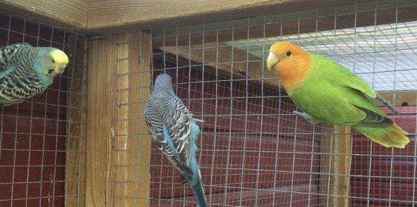 Allerede her i karanteneburet fant «Kalle» (til høyre) nye venner. Om noen få dager blir det flere venner: