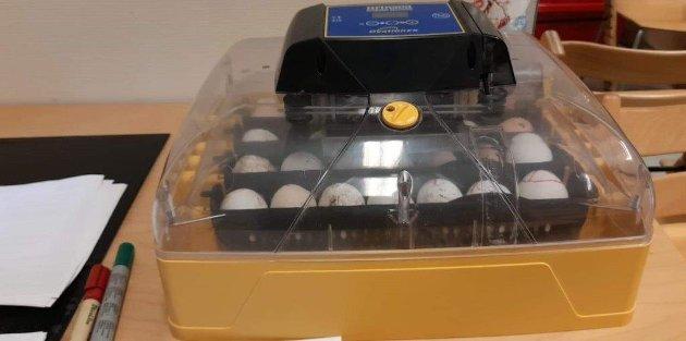 PÅ PLASS: Her har alle eggene blitt fraktet trygt fra gården i Rakkestad og til Sarpsborgmarka barnehage. Her lå de i rugemaskinen i 21 dager før det kom kyllinger ut.