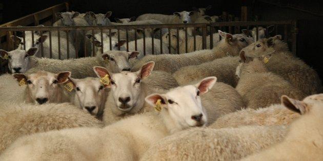 Marit Epletveit skriv at dyr som beiter i utmark, som sau, bind meir karbon enn om beitet hadde stått urørt.