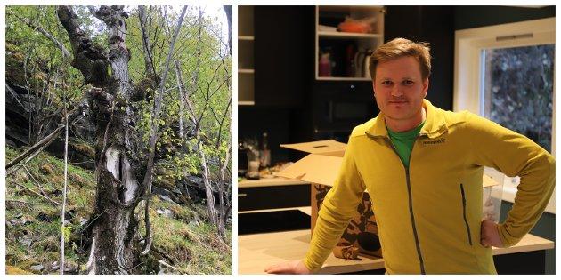 Dette gamle styvingstreet av alm i Lykkja i Årdal er heim for fugl, lav, mose og tallause insekt. Når vi vernar slike tre og skogen dei veks i, bør skogeigaren få erstatning meiner innskrivarane, og går i stevne med Aleksander Øren Heen (Sp).