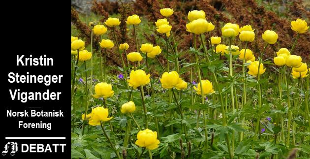 Med sin sterke gulfarge lyser ballblomen opp i engene våre, og den er en kjær blomst i buketter.