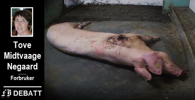 En av de mest groteske scenene fra NRK Brennpunkt. En skadet purke ligger nærmest livløs. Når bonden avliver den, innrømmer han at det skjer på ureglementert måte.