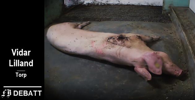 – Det starter med at dyrevernere bruker «walraffing» og skult kamera for å avsløre dyremishandling, skriver Lilland om Brennpunkt-programmet.