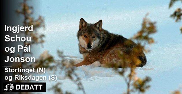 – I dag huser Skandinavia en politisk delt ulvestamme og følgelig et vesentlig høyere antall ulv enn nødvendig, skriver Schou og Jonson.