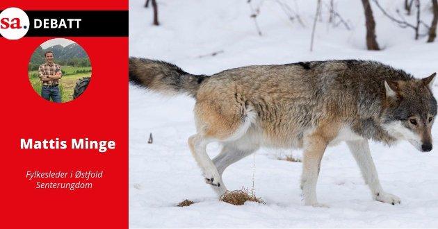 Mattis Minge i Østfold Senterungdom mener at det må felles så mye ulv som Stortinget har vedtatt.