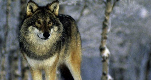 Jeger blant jegere: – Over et helt år dreper en ulveflokk i gjennomsnitt 120 elger. Antall felte elger under jaktåret 2017/2018 er 31.613, skriver Berit Helberg.