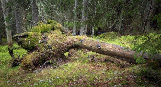UNDRES: Eirik Holten lurer i dette leserbrevet på hvor mange mennesker som har blitt skadet av fallende trær i urørt skog, som er argumentet til Viken Skog for å drive hogst i marka rund Nittedal.