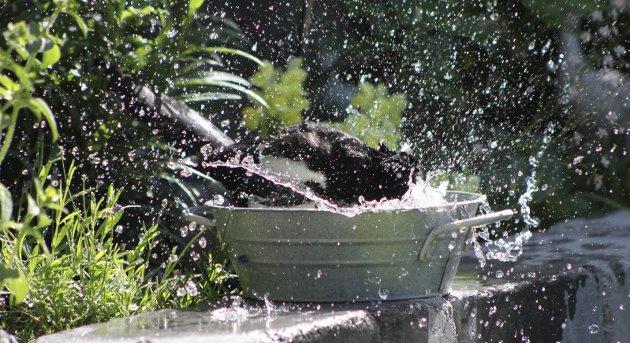 Selv fuglene mente nok det ble for varmt til tider. Her har Toril Molde fanget øyeblikket hvor en skjære koser seg i fuglebadet i Sørum.Foto: Toril Molde