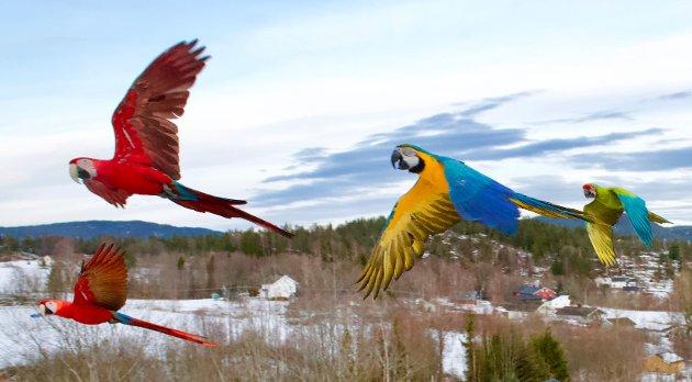 Fuglene er trent til å kunne fly høyt over Svelvik.