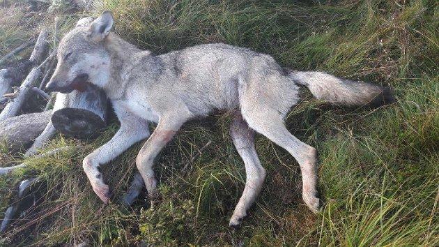 SKUTT: Ulvetispa som ble felt på Østre Toten i august. Ti ordførere har nå skrevet brev til to departementer, der de ber om at det blir tatt grep så ikke sommerens store ulveangrep på sau gjentar seg.