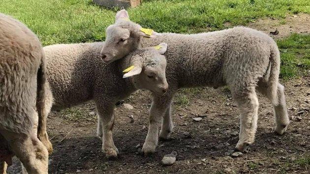 Gi bonden og lamma en hjelpende hånd denne våren.