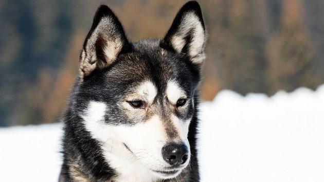 Illustrasjonsfoto av hunderasen alaska husky.