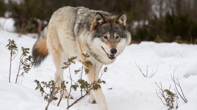 DNA-analyser gjort i Tyskland skal tyde på at ulven i Norge stammer fra blant annet en dyrepark i Paris.