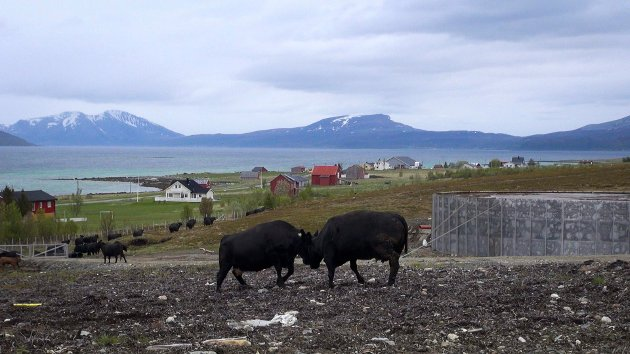 Vi har politiske programmer, vi har fine målsettinger, handlingsplaner og visjoner. Men når ikke èn av disse faktisk gjør noe med rammevilkårene til hun eller han som faktisk skal produsere mat for Norges befolkning, så er alle de fagre ordene ikke verd papiret de er forfattet på, skriver Tone Rubach i Nordnorsk Landbruksåd. Bildet er fra Bull gård på Ringvassøya.