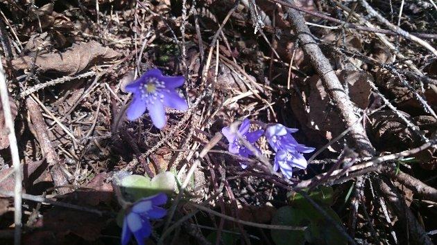 FEBRUAR: – Februar skal være den kaldeste, mest snørike vintermåneden. Det skal ikke være blåveis på Kapp, mener artikkelforfatteren.
