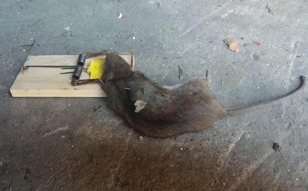 ROTTEGODT: – Ikke hell matfettet ut i vasken eller i toalettet! Kun rottene nyter godt av det, skriver artikkelforfatteren.