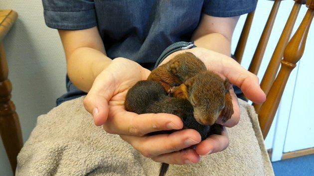 OVERLEVDE: Fire av de fem ekornungene overlevde, takket være pleie fra Charlotte Skaug.