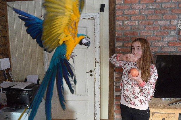 """Sunniva Jørvum (12 år) tar i mot  ara papegøyen """"Sarah"""" hjemme i stuen.   Foto: Olaf Akselsen"""